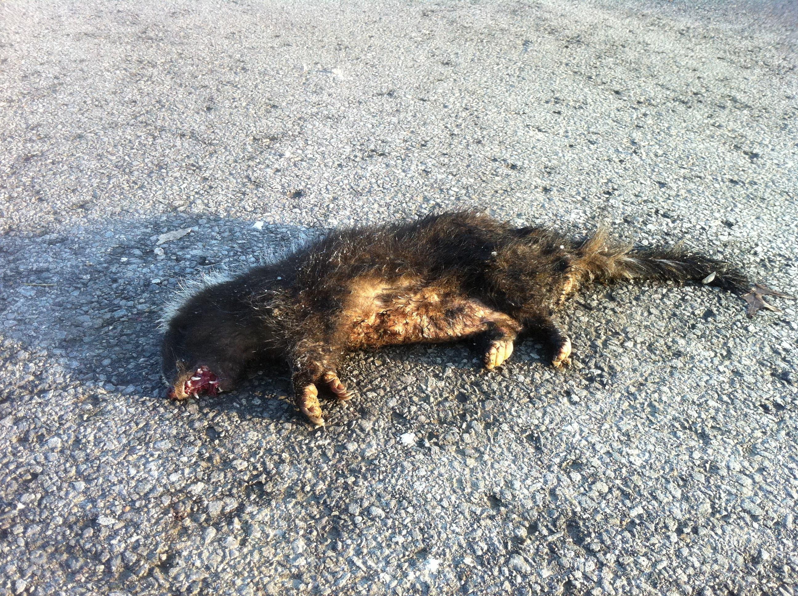 Dead Animal Removal In Toronto Gta On 647 776 7739