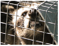 trapping-raccoon