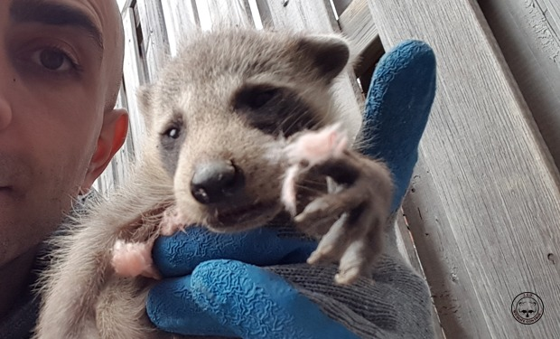 Image result for RACCOON REMOVAL